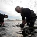 Les huîtres toujours menacées | Toxique, soyons vigilant ! | Scoop.it