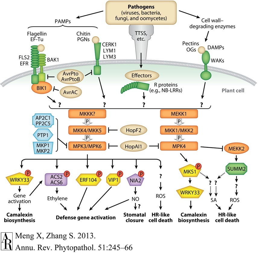 brassinosteroid insensitive 1-associated receptor kinase 1 precursor