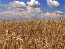 Il grano moderno è velenoso, per tutti. Parola del dott. Davis | senza glutine | Scoop.it