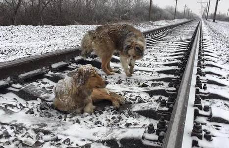 Dog Spends Days Protecting Injured Pup From Passing Trains (WATCH) - Good News Network | This Gives Me Hope | Scoop.it
