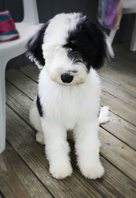 Sheepadoodle | Scoop it