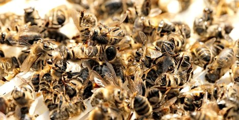 'It's Outrageous': EPA Acknowledges Proven Dangers of Bee-Killing Pesticides But Refuses to Restrict Them | Farming, Forests, Water, Fishing and Environment | Scoop.it
