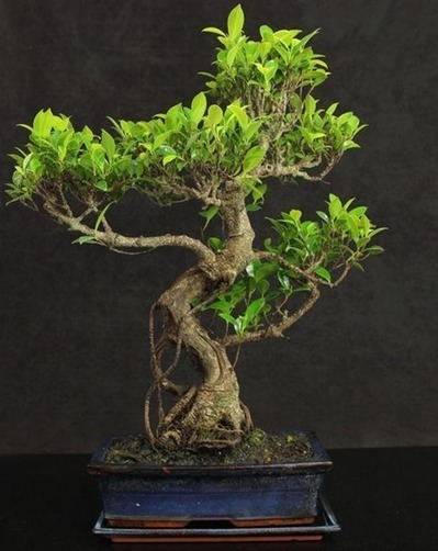 Buy Bonsai Tree Bonsaibydesignshop Scoop It