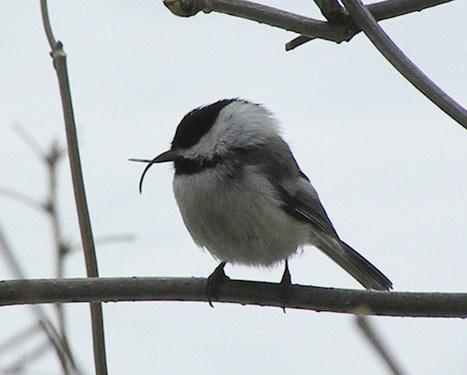 Birds' Beaks Deformed in Alaska; Grants Help Researchers Investigate | Upsetment | Scoop.it