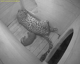Another pair of Persian leopards born in Russia | Saving the Wild: Nature Conservation in the Caucasus | Scoop.it