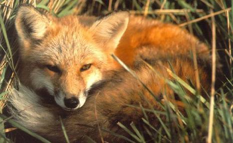 Le renard voleur d'iPhone qui envoyait des SMS | Sauvegarde et Protection des animaux | Scoop.it