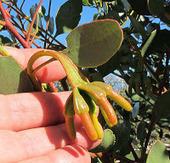 Esperance Wildflowers: Eucalyptus platypus subsp. congregata | Australian Plants on the Web | Scoop.it