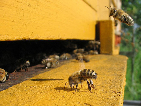 Harvard Researchers recreate bee collapse with pesticide-laced corn syrup | Biodiversity IS Life  – #Conservation #Ecosystems #Wildlife #Rivers #Forests #Environment | Scoop.it