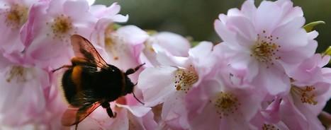 Le bourdon à tache rousse sur la liste des espèces en danger d'extinction | EntomoNews | Scoop.it
