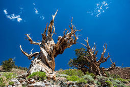 Climate Change Could Kill the World's Oldest Trees | Education for Sustainable Development | Scoop.it