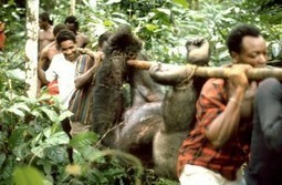 End Illegal Bush Meat Trade in Western Africa | America and Africa | Scoop.it