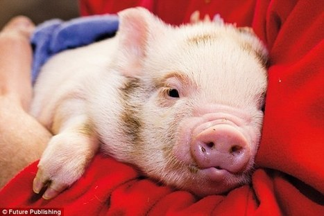 Move over Lassie: Tests reveal pigs can outsmart dogs and chimpanzees:  also have empathy   Empathy and Animals   Scoop.it