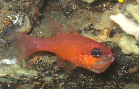 This cardinal fish father can't feed while he incubates his brood in his mouth.... | everett ce marine biology | Scoop.it