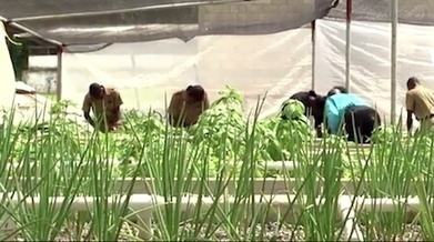 Aquaponics: Getting it right in Jamaica | Agricultural & Horticultural Industry News | Scoop.it