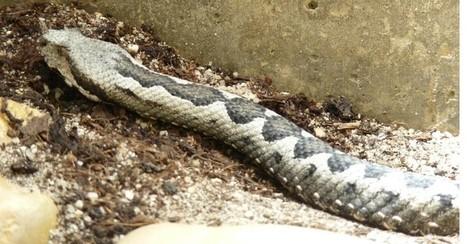 Photo de serpent: Vipère ammodyte - Vipère cornue - Vipera ammodytes ruffoi | Fauna Free Pics - Public Domain - Photos gratuites d'animaux | Scoop.it