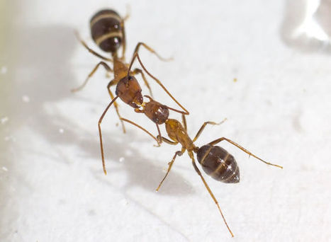 For Ants, a Kiss Is Not Just a Kiss…It's Communication | All About Ants | Scoop.it