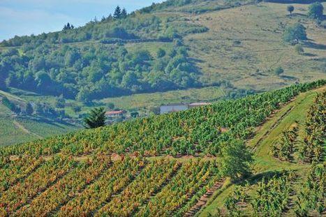 Les viticulteurs du Beaujolais sonnent l'alarme | Autour du vin | Scoop.it