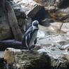 da penguins