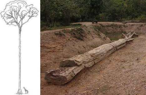 Ancient Giant Trees Found Petrified in Thailand : DNews | Archaeology News | Scoop.it