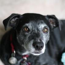 Un médicament pour augmenter l'espérance de vie des chiens de 4 à 5 ans ? | CaniCatNews-actualité | Scoop.it