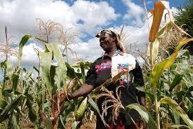 Kenya Gives Nod to Open-Air Trials of Bt Maize - It Could Be Selling By 2018 | MAIZE | Scoop.it