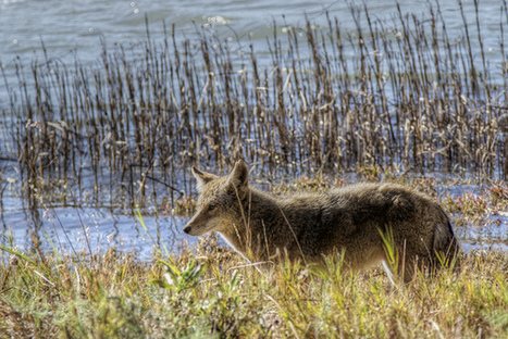 Groups Sue NorCal County Over Work With Federal Wildlife Agency | Mendocino County Living | Scoop.it