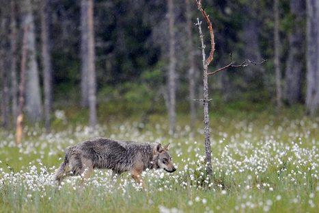 Les loups sont-ils aux portes de Paris ? | Biodiversité | Scoop.it