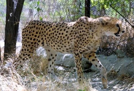 Le guépard asiatique aperçu en Iran | The Blog's Revue by OlivierSC | Scoop.it