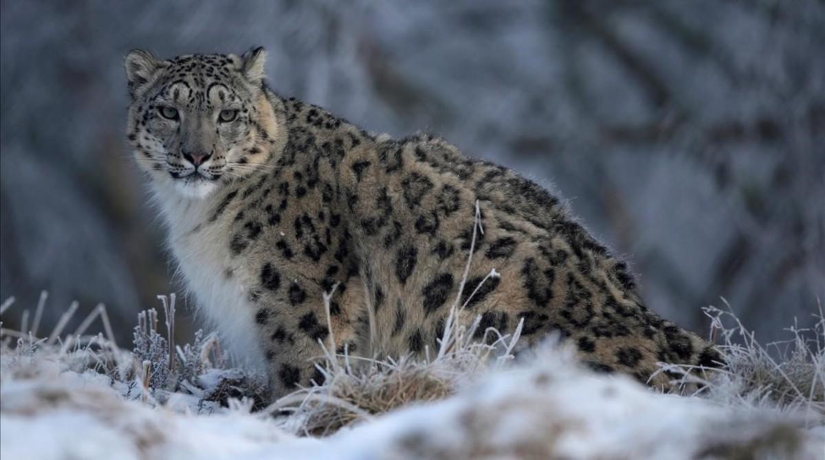 El leopardo de las nieves, amenazado por ganade...