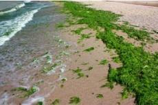 Moins d'algues vertes en Bretagne : les efforts portent leurs fruits | Chimie verte et agroécologie | Scoop.it