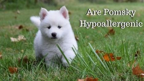 Pomsky Puppies   Scoop it