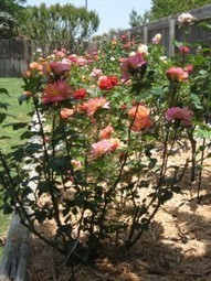 Gaga's Garden | Converting Clay Soils, How Mark Chamblee Roses Does It | Roses | Scoop.it