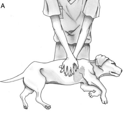 CPR for dogs (cardiopulmonary resuscitation) » DogHeirs | Where Dogs Are Family « Keywords: CPR, emergency, cardiac massage, cardiopulmonary resuscitation | Animal Health | Scoop.it