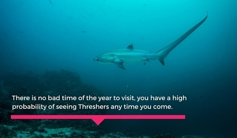 You must dive with Thresher sharks in Malapascua before you die | Bookyourdive | Scoop.it