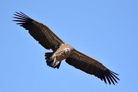 Première à Pairi Daiza : un vautour né et élevé à Brugelette... - L'avenir | Pays Vert | Scoop.it