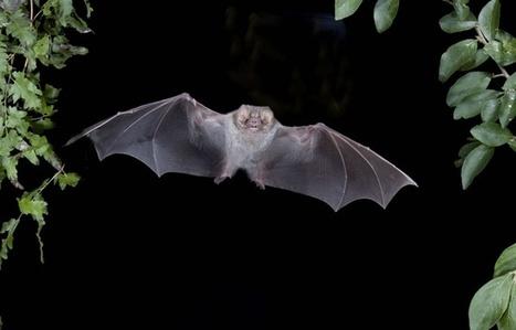 Brésil: La chauve-souris vampire à pattes velues consomme aussi du sang humain | Biodiversité | Scoop.it