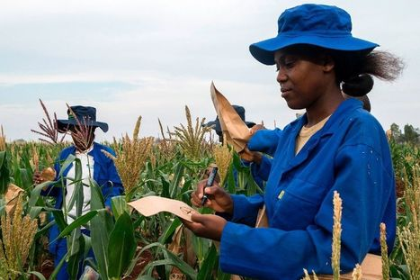 Drought-hit Zimbabwe farmers look to science to save crops | Yahoo News | CGIAR Climate in the News | Scoop.it