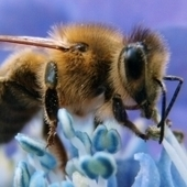 AllGov - News - Blamed for Bee Population Collapse, Monsanto Buys Bee Collapse Research Group | Colony Collapse Disorder | Scoop.it