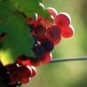 Vins et vignobles, wines and vineyards