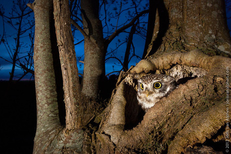 Shedding Light on the Life of Owls | All about nature | Scoop.it