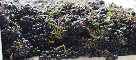 Destemmed or whole bunches ? | Wine website, Wine magazine...What's Hot Today on Wine Blogs? | Scoop.it