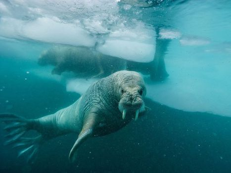 Atlantic Walrus Picture -- Underwater Photo -- National Geographic Photo of the Day | Arctique et Antarctique | Scoop.it