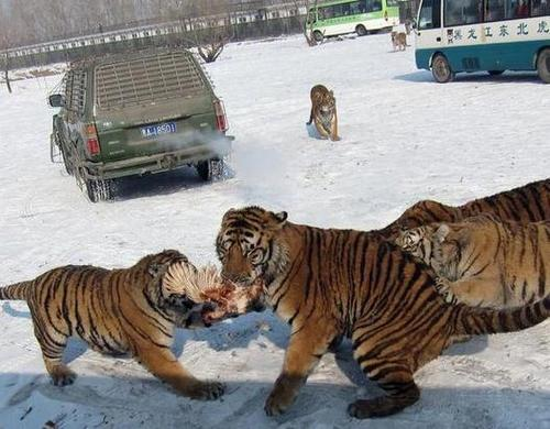 Harbin China China S Tiger Parks Under Fire From