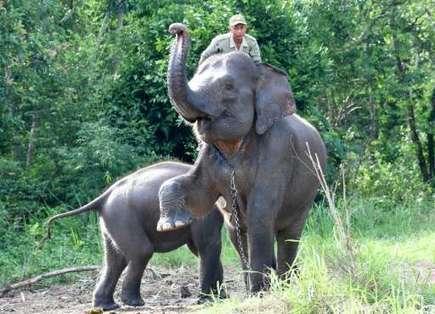 Captive elephants help save wild cousins on forest frontline | Confidences Canopéennes | Scoop.it