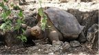 Tortoise Lonesome George is dead | All about water, the oceans, environmental issues | Scoop.it