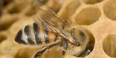 Abeilles : la faillite de l'évaluation des pesticides | poesie-citation | Scoop.it