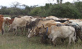 How the stink of a waterbuck could prevent sleeping sickness in Kenya   Africa   Scoop.it