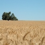 Public access to wheat genome to revolutionise farming | Wheat World | Scoop.it