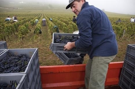 La vigne de la Romanée Conti récoltée avec Aubert de Villaine | Route des vins | Scoop.it