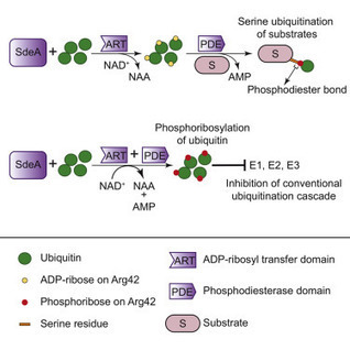 Phosphoribosylation of Ubiquitin Promotes Serine Ubiquitination and Impairs Conventional Ubiquitination | Plant-microbe interaction | Scoop.it